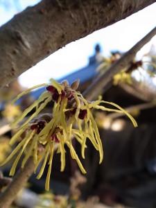国束寺 マンサクの花