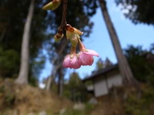 国束寺の河津桜