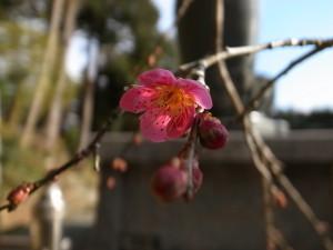 国束寺 枝垂れ梅