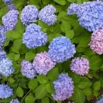 国束寺の紫陽花