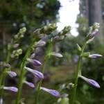 国束寺 桃源郷 ギボシの花