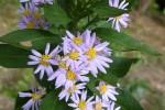 桃源郷の紫苑