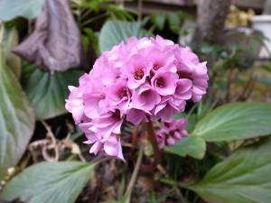 国束寺の庭にて ヒマラヤユキノシタ