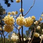 国束寺の庭 三椏の花