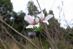国束寺 桃源郷 10月の桜
