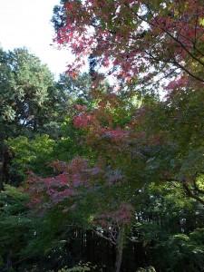 国束寺の紅葉 楓