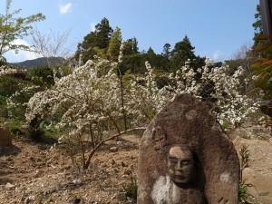 古刹国束寺 ユキヤナギ