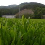 お茶の新芽と国束山