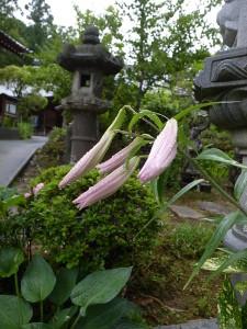 まだ蕾の花もあります