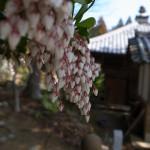 伊勢 度会 国束寺 アセビの花
