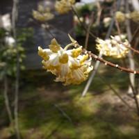 国束寺 ミツマタの花