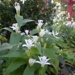 度会 国束寺のシロホトトギスの花