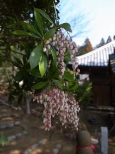 三重 国束寺 アセビの花