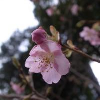 国束寺 河津桜