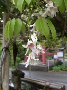 国束寺境内 郁子(ムベ)の花