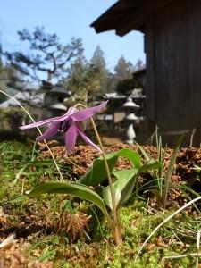 古刹国束寺 カタクリの花