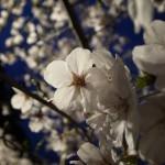 国束寺 夜桜