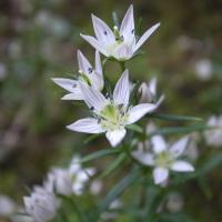 国束寺 センブリの花