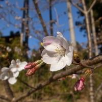 国束寺 ソメイヨシノ開花