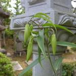 H26 国束寺のササユリ