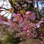 2/23 國束寺河津桜