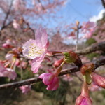 2016/2/26 國束寺の河津桜