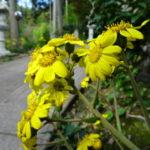 國束寺境内 ツワブキの花