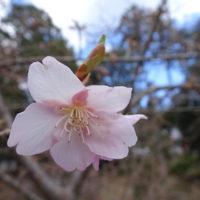 三重 伊勢 河津桜