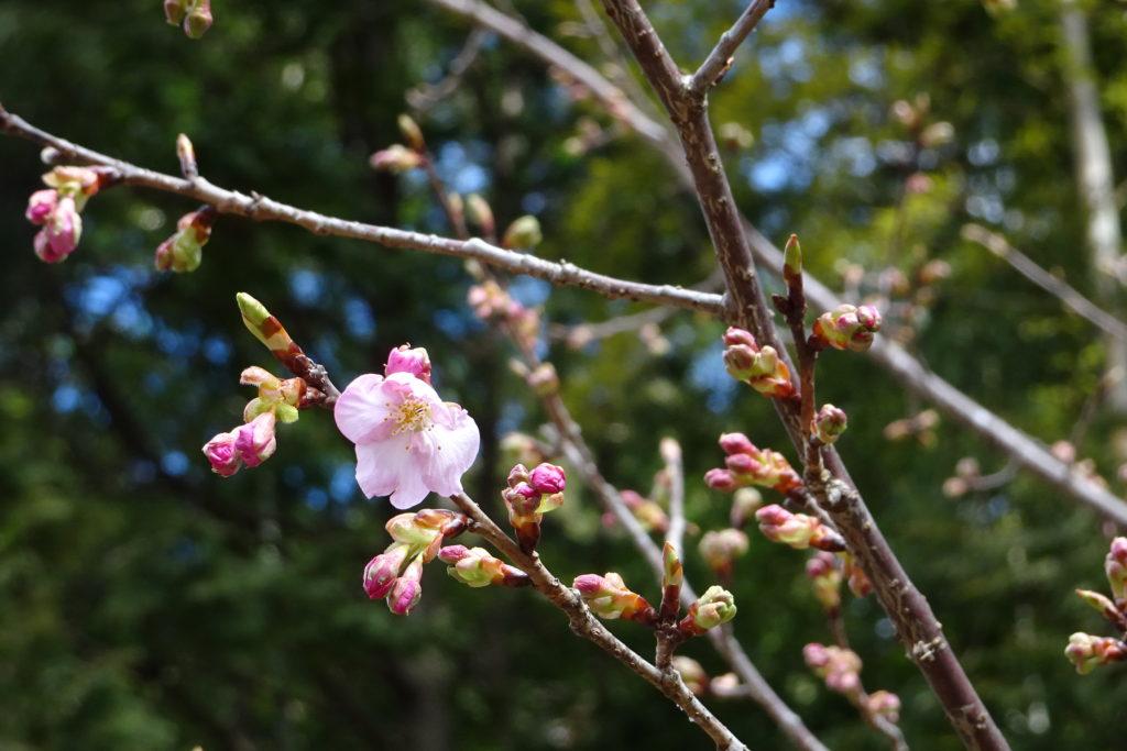 伊勢志摩 河津桜