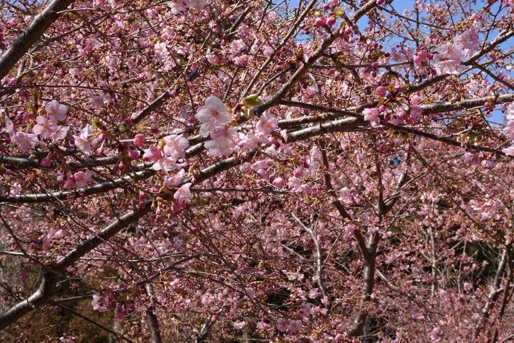三重 河津桜