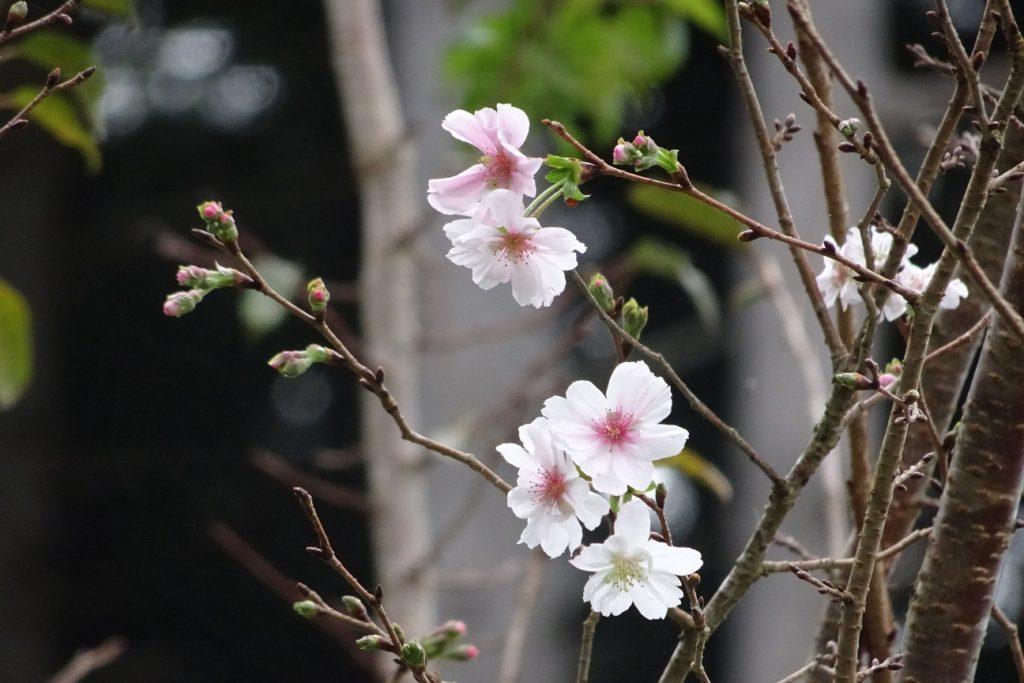 三重 伊勢 十月桜