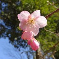 三重,伊勢,河津桜,開花