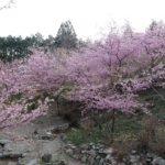 三重,伊勢 河津桜,見頃,度会
