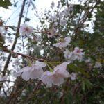 三重,十月桜,伊勢,秋,桜