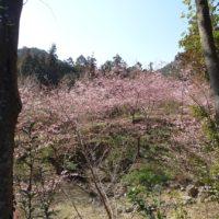 2019.2.26 國束寺 河津桜