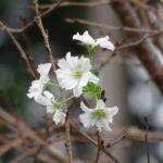 十月桜,三重,伊勢,度会