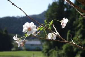 三重,伊勢,度会,寺,桜,十月桜