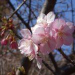 三重,度会,伊勢,河津桜,メジロ