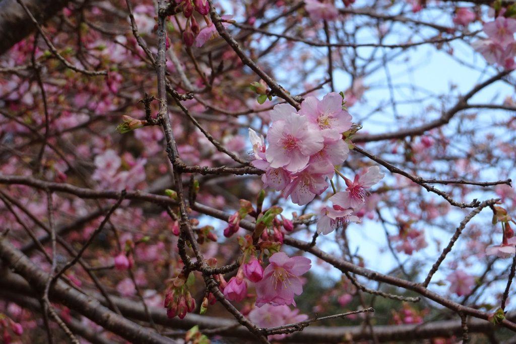 三重,度会,伊勢,河津桜