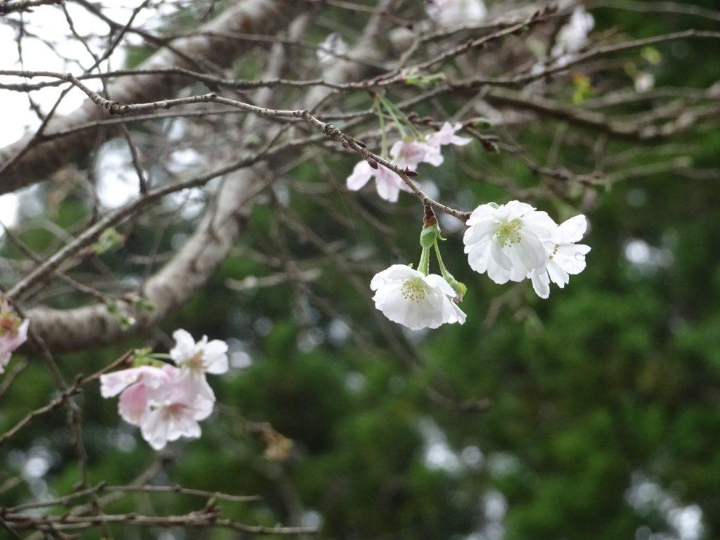 三重,伊勢,国束寺,十月桜