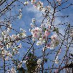 三重,度会,寺,伊勢,十月桜